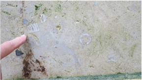 Aan de achtermuur van het Wertheimmonument zijn vele mooie Apiocrinus zeelelies te zien!